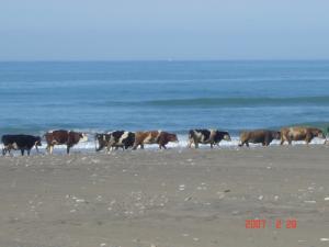 Elevage de Vaches sur la côte de Saida )
