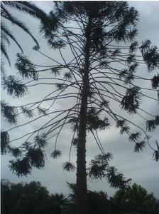 شجرة من أمريكا الجنوبية تم إدماجها بنجاح في غابات الجزائر (ولاية سكيكدة)