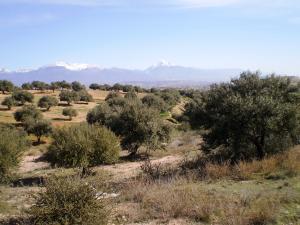 حقول القمح و أشجار الزيتون ببلدية لصنام