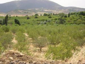 حقول شجر التفاح ببلدية اينوغيسن (ولاية باتنة)