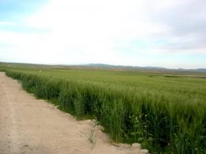 Culture de Céréales dans la commune de Tamlouka