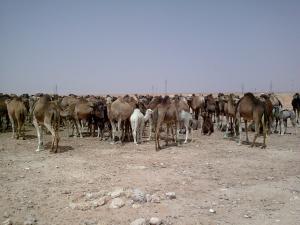 تربية الإبل بالجنوب الجزائري