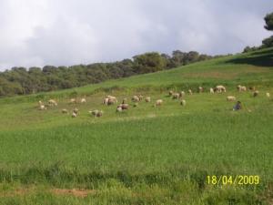 Elevage Ovins aux Alentours de Mostaganem