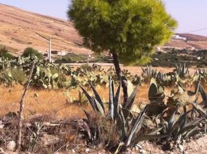 Les figues berberes à Dehahna (Wilaya de Msila)