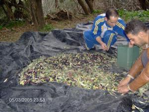 حصاد الزيتون بضواحي بلدية 'بني سنوس'