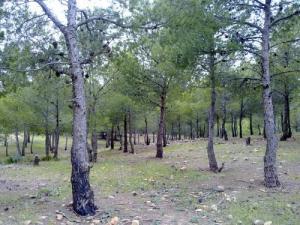Forêt de Pins d'Alep à Tissemsilt
