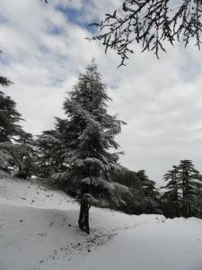 La Forêt de Sapins de Tissemsilt