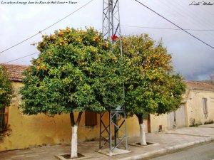 أشجار البرتقال بوسط مدينة سيدي حسني