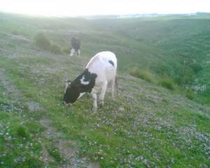 تربية الأبقار بولاية ميلة