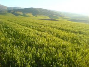 الحقول الفلاحية بمنطقة السطحة (ولاية ميلة)