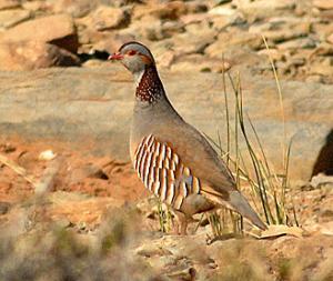 طائر الحجل البربري بضواحي قسنطينة