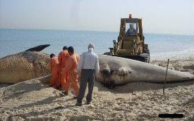 البحر يلفظ جثة حوت طوله 04 أمتاربشاطئ القل