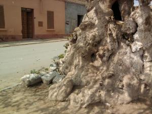 شجرة يفوق سنها مئة سنة