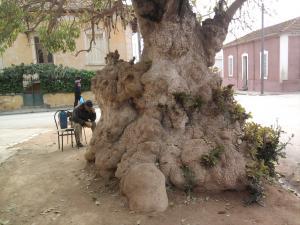 شجرة يفوق سنها مئة سنة (1)